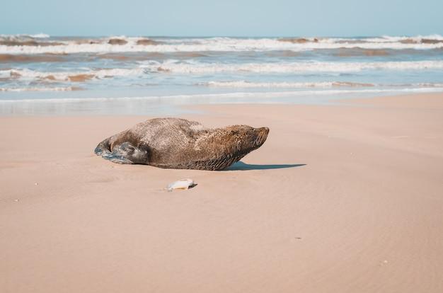 Leão-marinho deitado na areia da praia