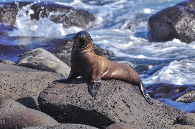 Leão-marinho em uma rocha