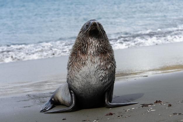 Leão marinho no mar