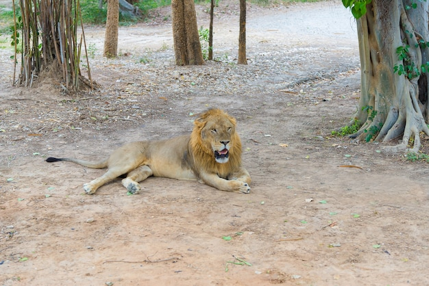 Leão masculino no chão no parque.