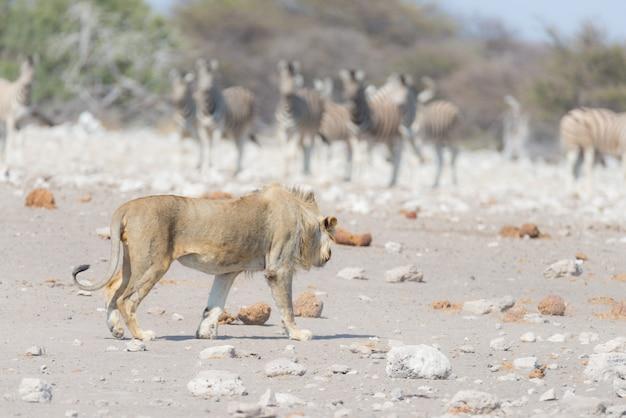 Leão masculino novo, pronto para o ataque, andando para o rebanho das zebras que correm afastado, defocused. safári dos animais selvagens no parque nacional de etosha, namíbia, áfrica.
