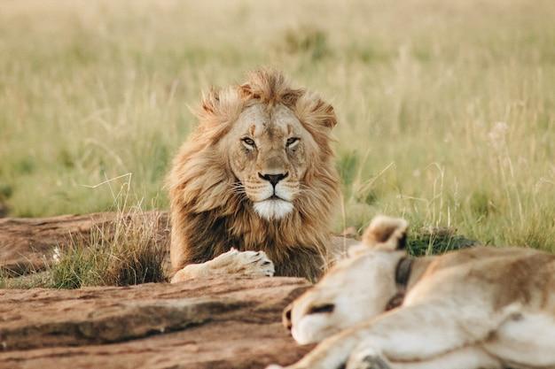Leão masculino, olhando para a câmera, deitado no chão em um campo