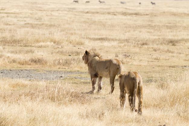 Leão na cratera da área de conservação de ngorongoro, tanzânia