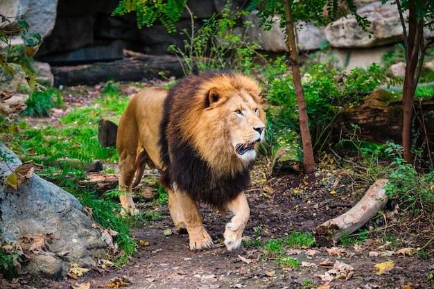 Leão na floresta da selva na natureza