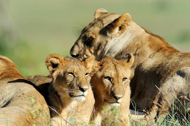 Leão na grama do parque nacional masai mara, no quênia