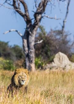 Leão na grama