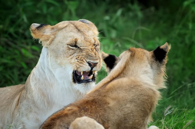 Leão na reserva nacional da áfrica, quênia