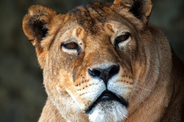 Leão na savana africana masai mara