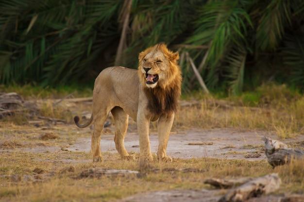 Leão na savana