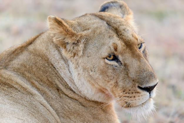 Leão no parque nacional da áfrica