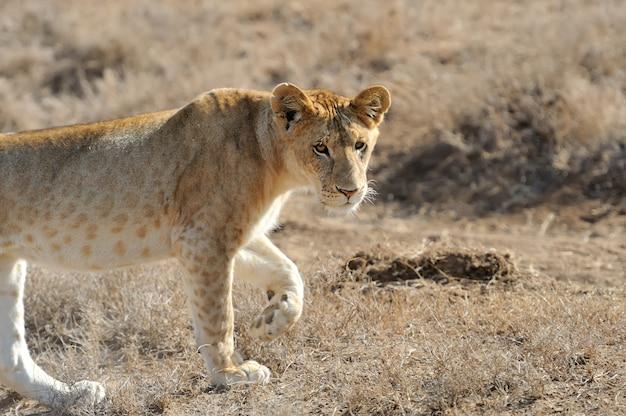 Leão no parque nacional do quênia
