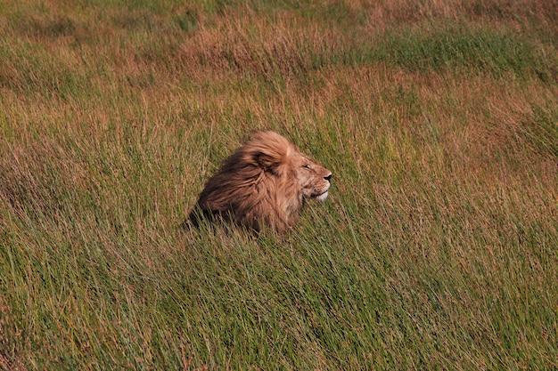 Leão no safari no quênia e na tanzânia, áfrica