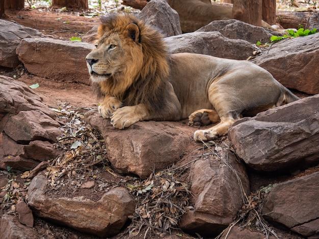 Leão o rei da vida selvagem