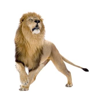 Leão, panthera leo em um branco isolado