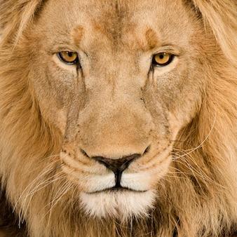 Leão, panthera leo em um branco isolado Foto Premium