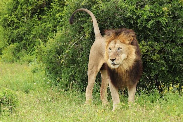 Leão peludo caminhando no parque nacional de elefantes addo durante o dia
