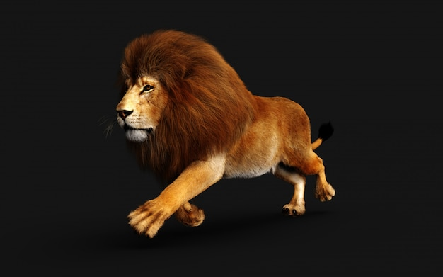 Leão perigoso isolado no preto, com traçado de recorte