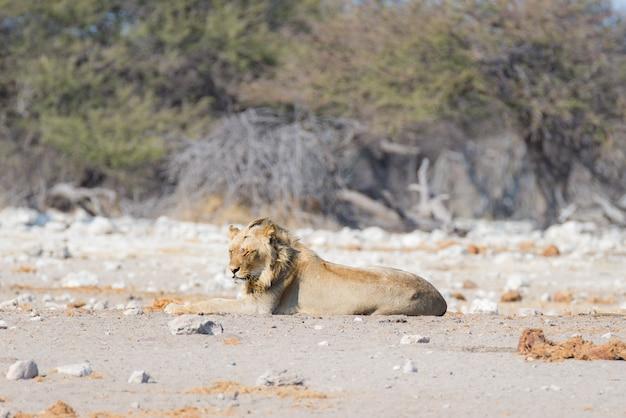 Leão preguiçoso masculino novo que encontra-se para baixo na terra. zebra (desfocado) andando sem perturbações. safári dos animais selvagens no parque nacional de etosha, namíbia, áfrica.