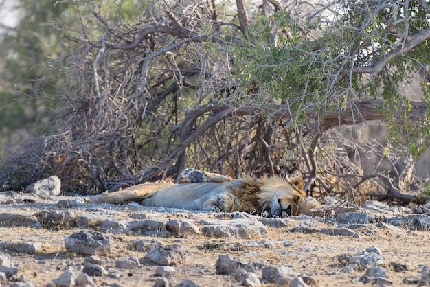 Leão que encontra-se para baixo no arbusto, parque nacional de etosha, destinaiton do curso em namíbia.