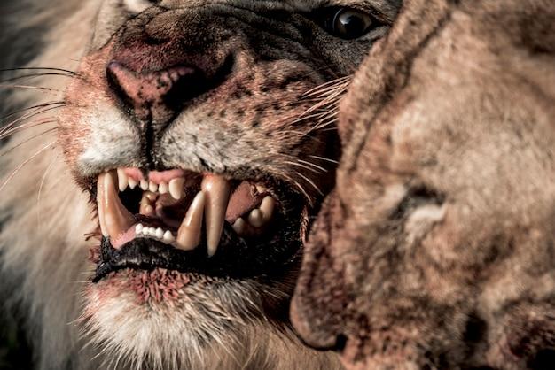Leão rosnando enquanto comia no parque nacional do serengeti