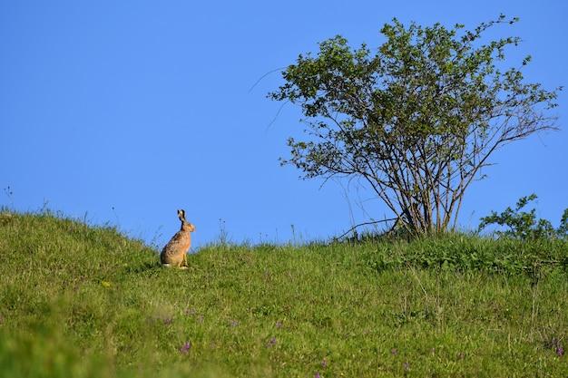 Lebre - coelho e árvore. fundo natural de primavera com animal.