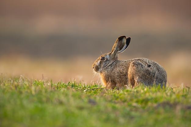 Lebre marrom bonito com orelhas longas, se escondendo em um prado na natureza da primavera.