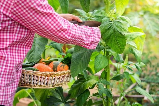Legumes de amaranto feminino colheita orgânicos na fazenda