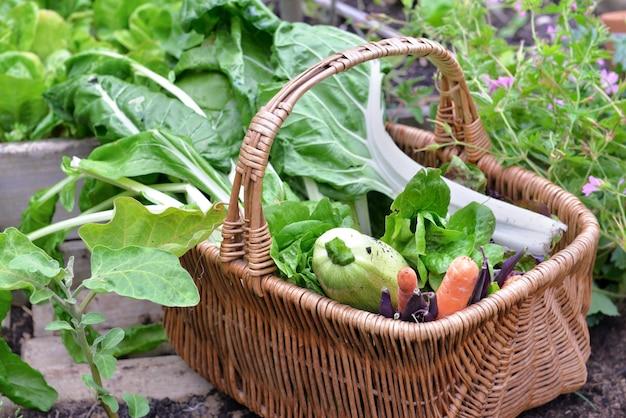 Legumes frescos em uma cesta de vime colhendo no jardim