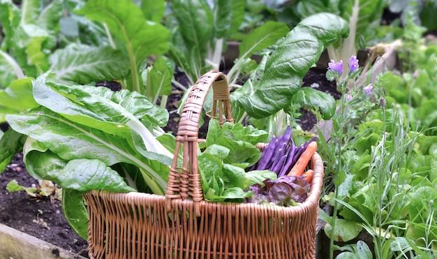 Legumes frescos em uma cesta de vime colocados em uma horta