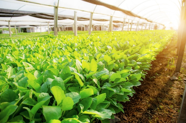 Legumes orgânicos com luz solar.