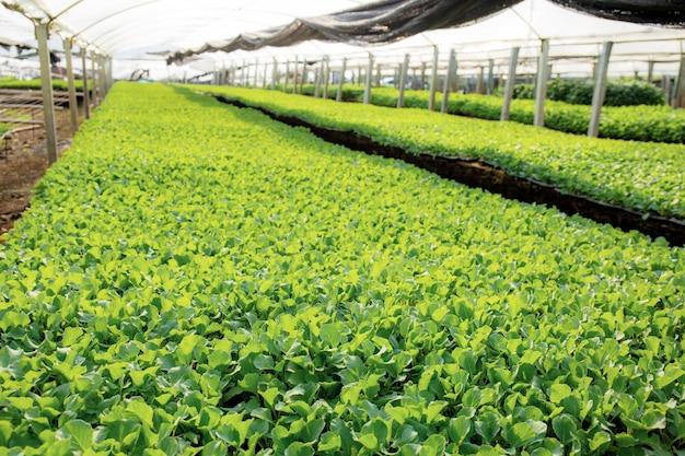Legumes orgânicos em estufas.