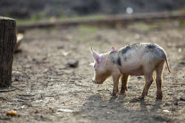 Leitão cor-de-rosa e preto sujo engraçado novo pequeno do porco que está fora no pátio ensolarado. semear, produção natural de alimentos.