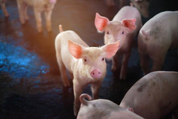 Leitão espera alimentar. porco interno em uma jarda de exploração agrícola em tailândia.