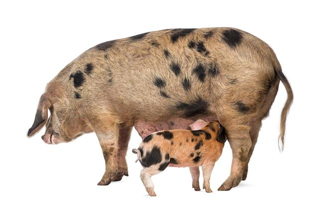 Leitão oxford sandy e black, 9 semanas de idade, porca amamentando contra o espaço em branco