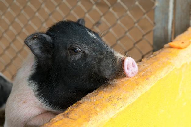 Leitão pequeno que espera a alimentação na exploração agrícola