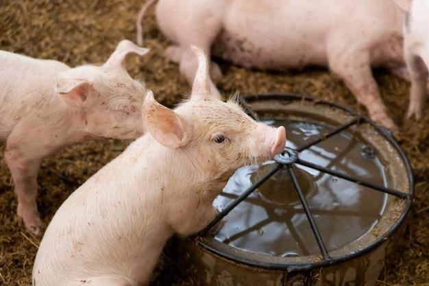Leitão recém-nascido bonito na fazenda rural orgânica agrícola. conceito de indústria de gado.