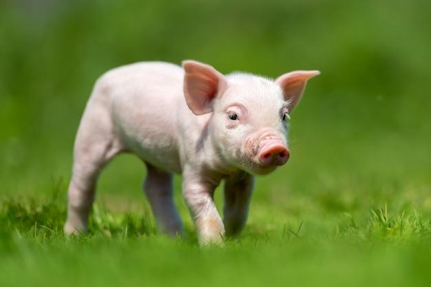 Leitão recém-nascido na grama verde da primavera