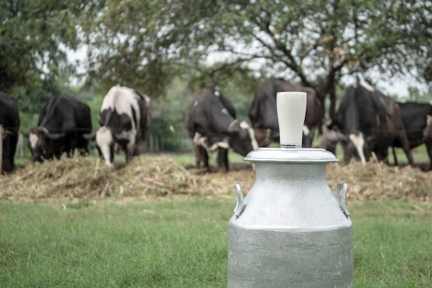 Leite de vidro e vacas leiteiras com comer grama verde no fundo da fazenda