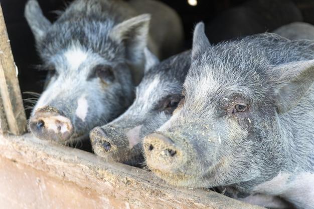 Leitões cinzentos bonitos no celeiro na fazenda. porcos sujos no curral. porco. área rural. criação animal. carne de porco. iguarias de carne. produtos agrícolas, alimentos naturais saudáveis. medicina veterinária. rancho. tema animal.