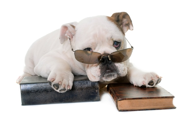 Leitura de bulldog inglês filhote de cachorro