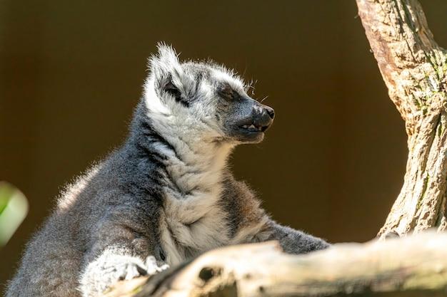 Lemur de cauda anelar