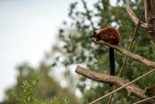 Lemur ruffed vermelho