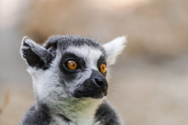 Lêmure de cauda anelada (lemur catta)