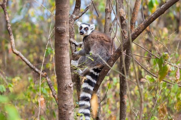 Lêmure de cauda anelada no parque nacional de ranomafana selvagem