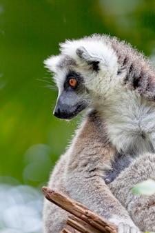Lêmure de cauda em forma de anel, lemur catta