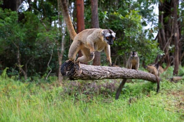 Lêmure marrom brincando no tronco de uma árvore