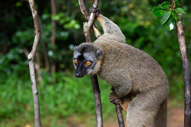 Lêmure na floresta tropical nas árvores
