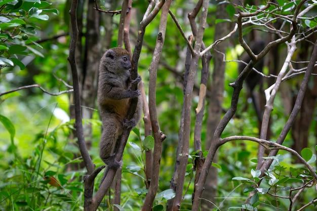 Lêmure pequeno na floresta tropical na ilha de madagascar