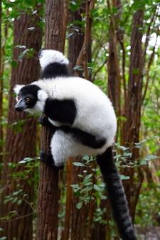 Lêmure preto e branco senta-se no galho de uma árvore