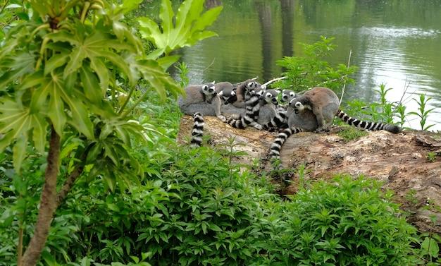 Lêmures de cauda anelada no parque nacional, na ilha de madagascar.